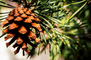 what christmas tree is best for the environment